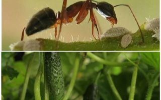 Как бороться с муравьями на грядке с огурцами
