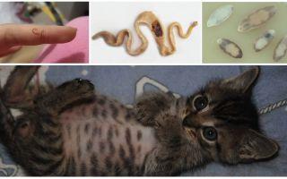 Признаки и лечение глистов у котенка