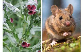 Растение черный корень от мышей