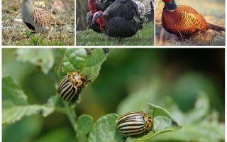 Какие птицы и насекомые едят колорадских жуков
