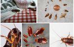 Кусаются ли домашние тараканы человека