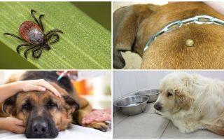 Симптомы и лечение пироплазмоза у собак