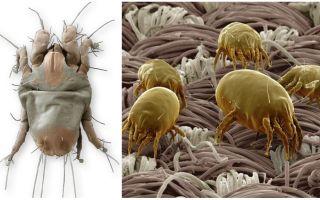 Описание и фото бельевых клещей