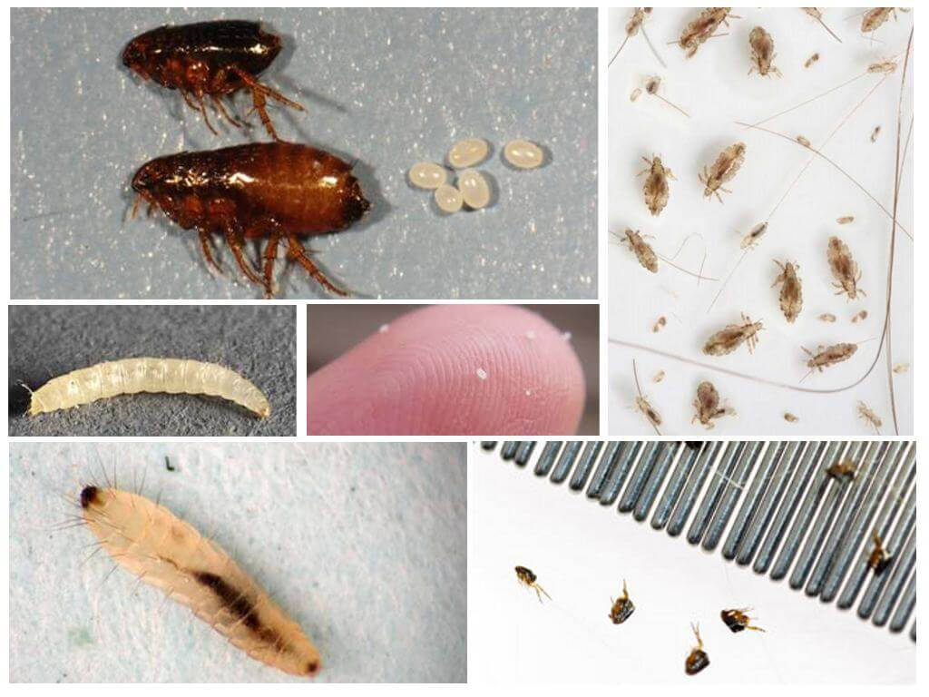 домашние паразиты кусающие людей