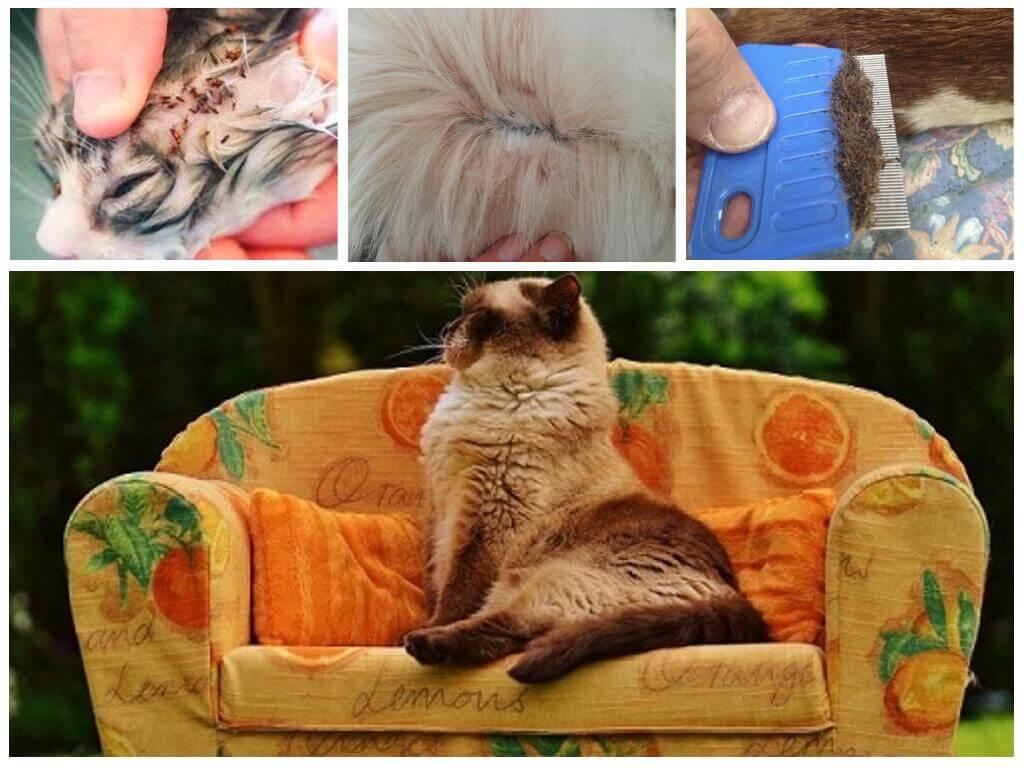 Могут ли блохи от кота перейти на человека
