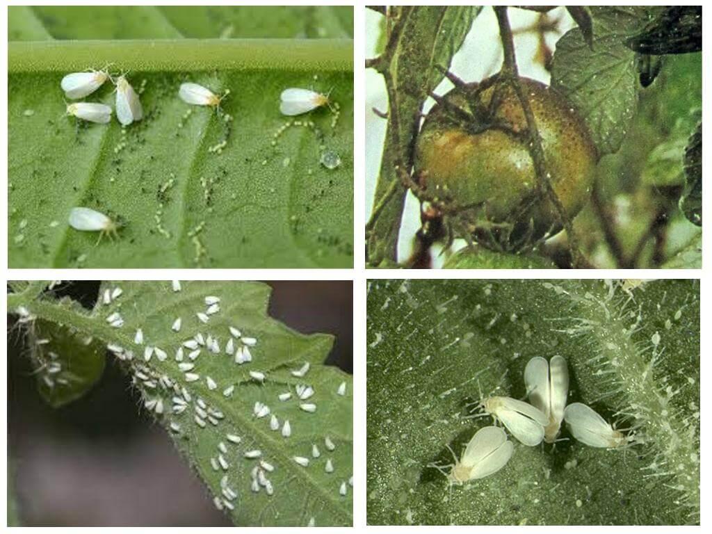 Методы борьбы с белокрылкой на помидорах в теплице