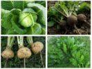 Что ест капустная моль