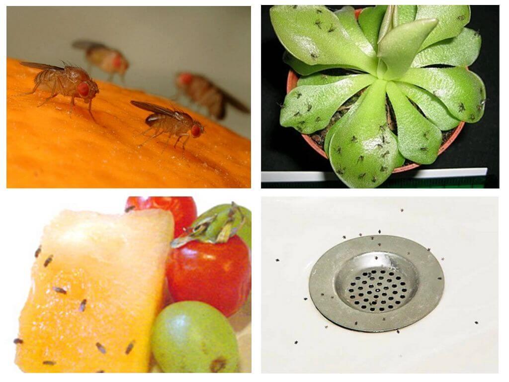 Как на кухне избавиться от мошек быстро: народные средства и ловушки