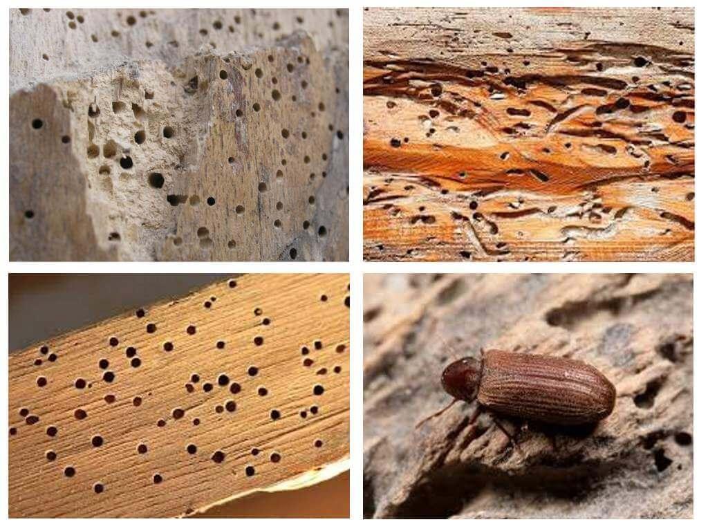 жучки которые едят дерево фото день выкладываем