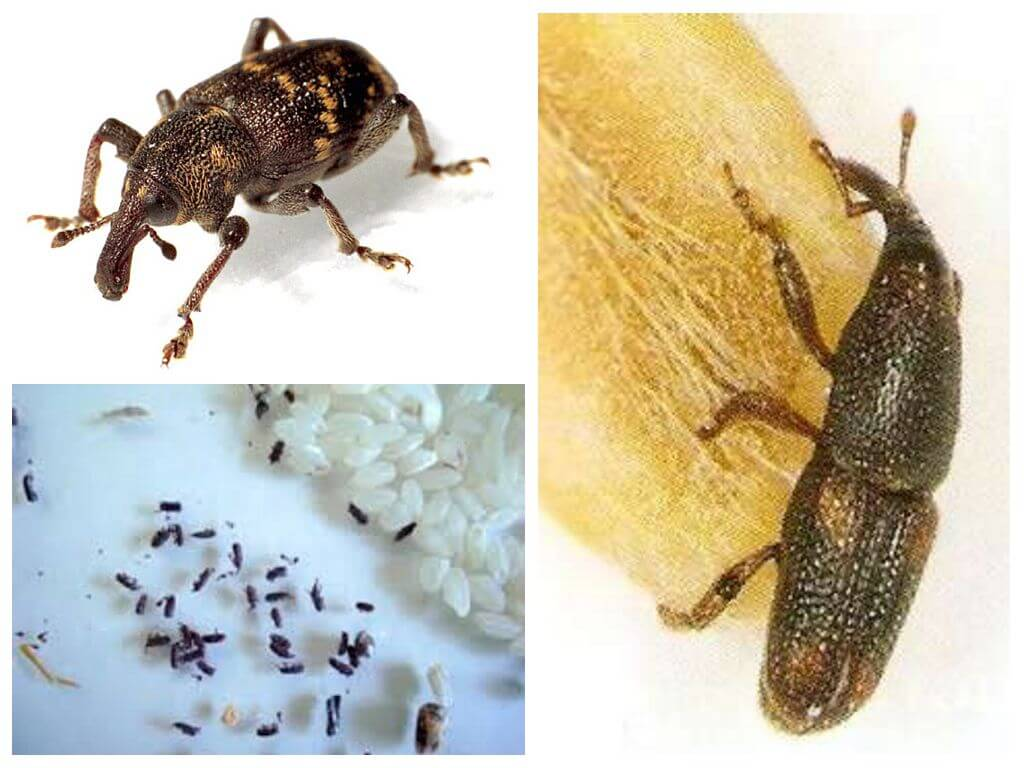 Рисовый долгоносик – злостный вредитель зерновых культур