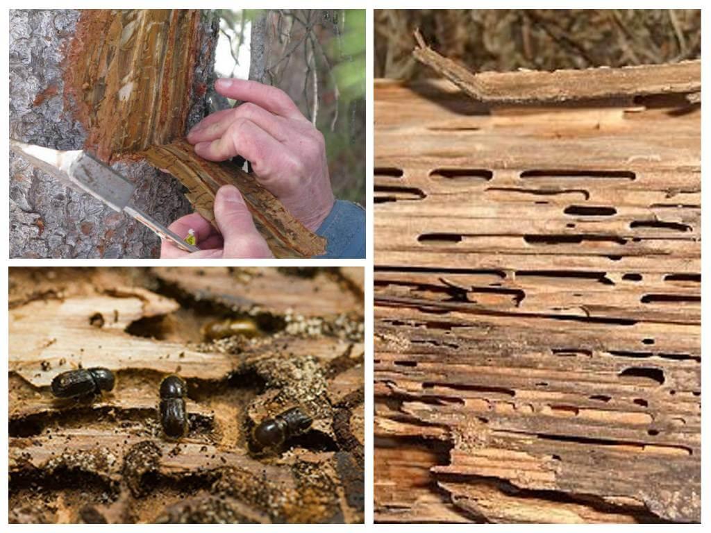 Как бороться с жуком короедом на плодовых деревьях