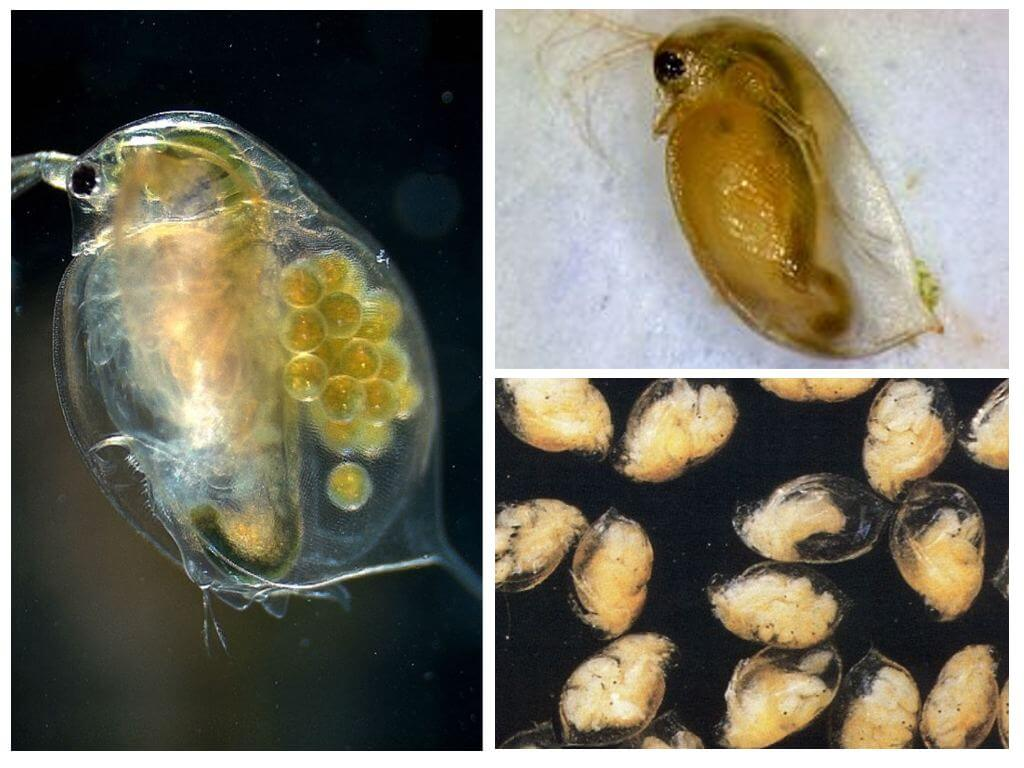 biology in daphnia The evolutionary biology of vision in daphnia by christopher sean brandon bachelor of science northeastern illinois university, 2009 submitted in partial fulfillment of the requirements.