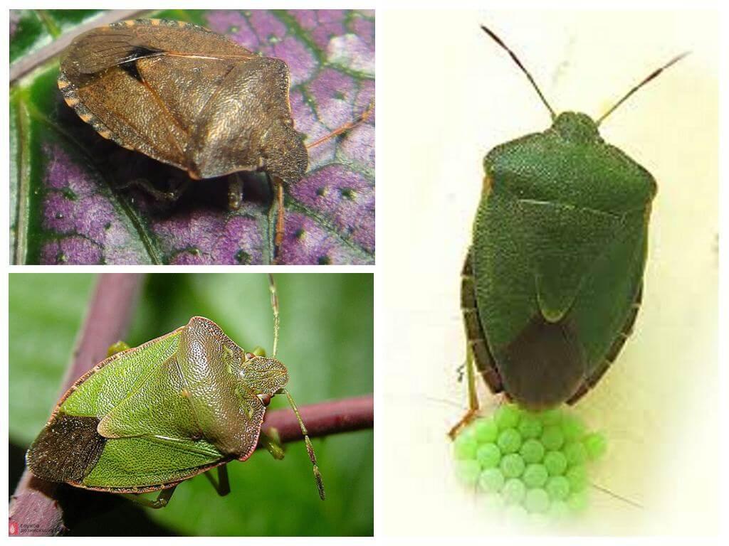 Древесный зеленый клоп щитник