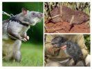 Большие крысы