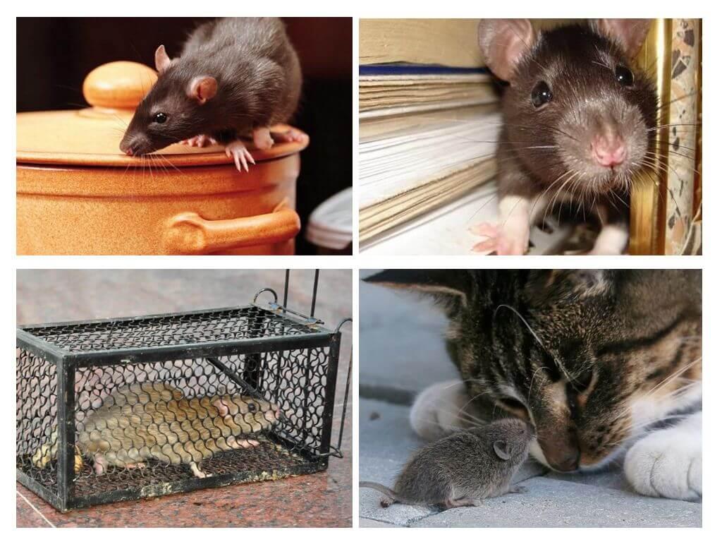 Как избавиться от грызунов в частном доме