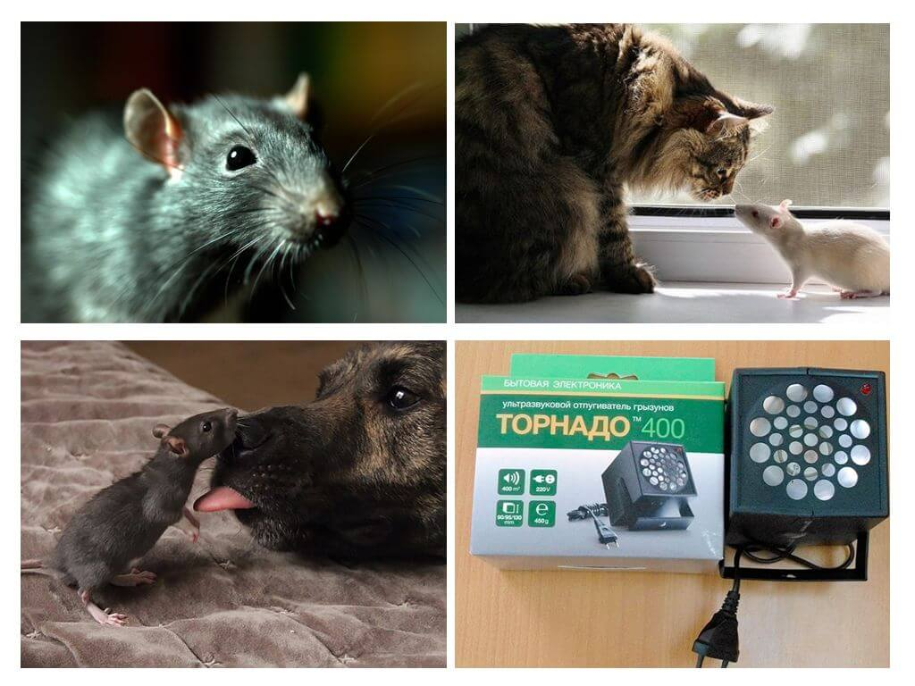 Чего боятся крысы и мыши