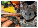 Вред от мышей на даче