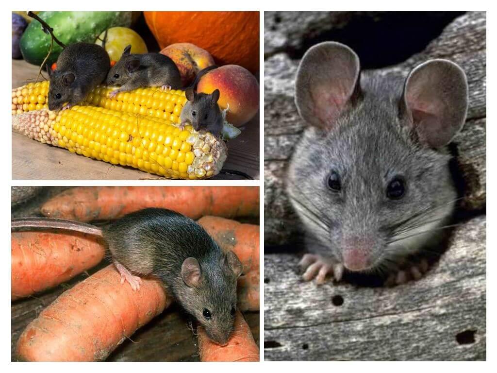 Как бороться с мышами на даче и участке