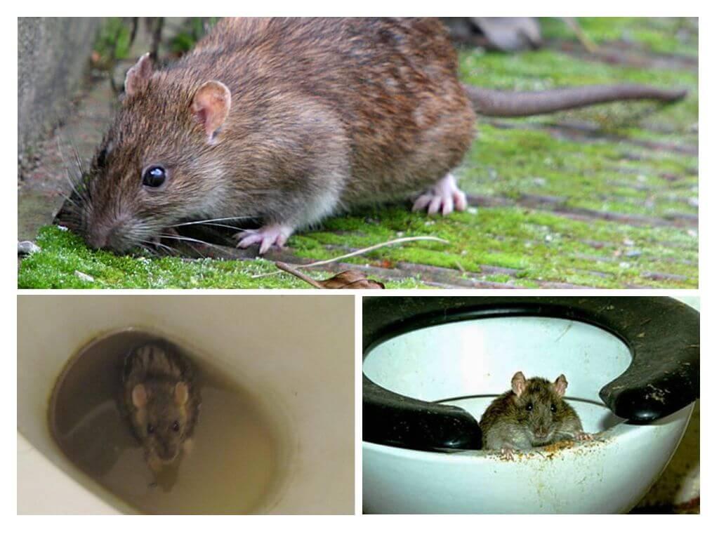 Может ли вылезти крыса из унитаза