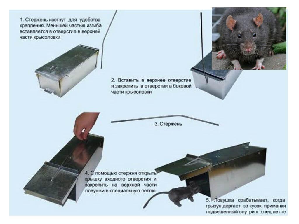 Крысоловка своими руками: ловушки для крыс, капкан