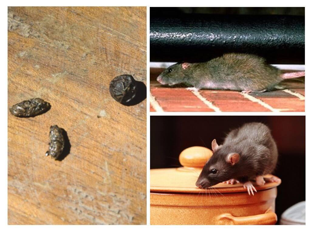 Как бороться с крысами в квартире