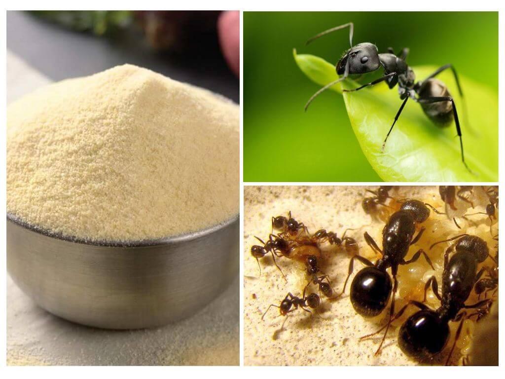 Манка от муравьев на огороде