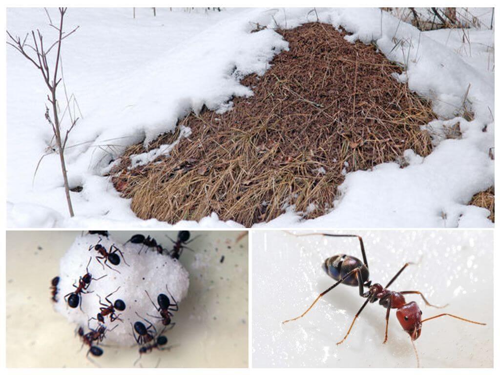 Что делают муравьи зимой