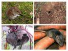 Мыши на огороде