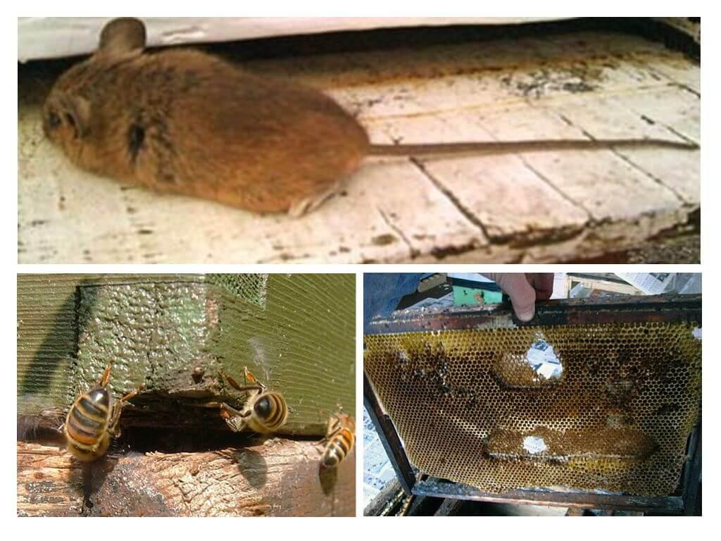 Как выгнать мышь из улья зимой и летом