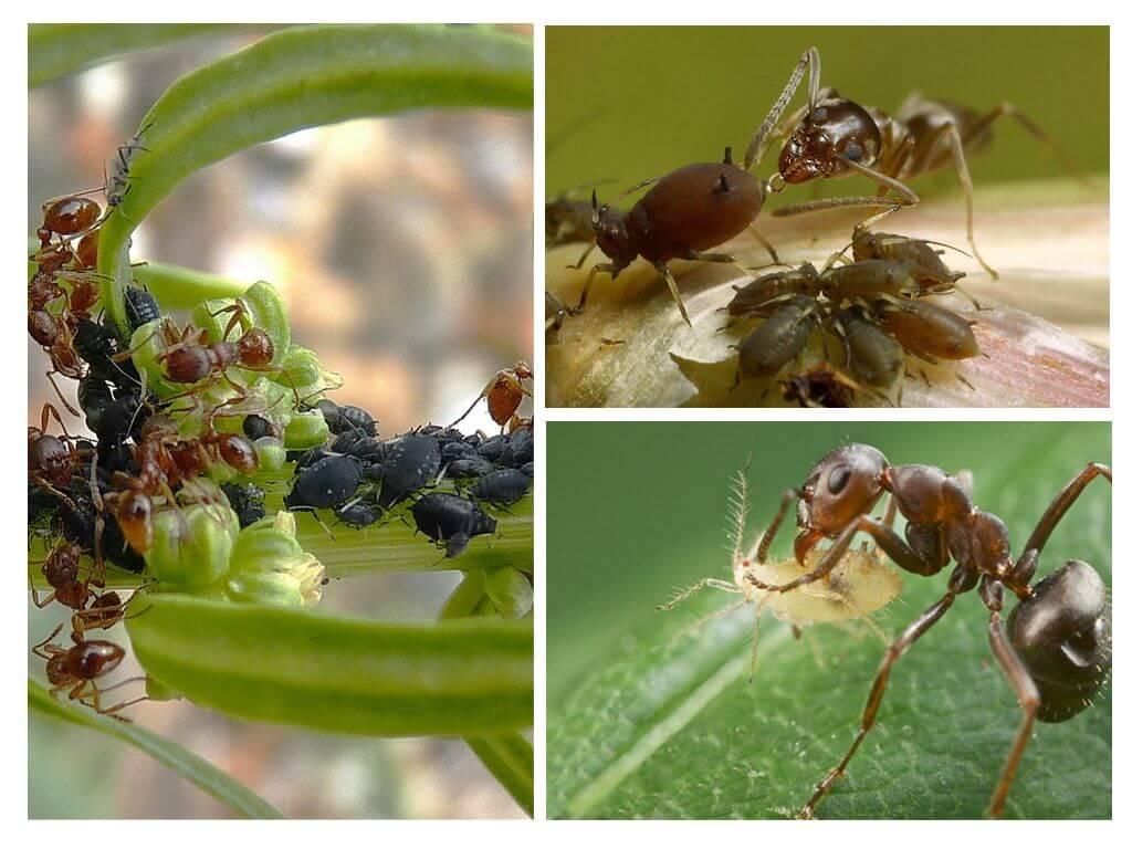 Тип взаимоотношений муравья и тли — Bexhoevede.info