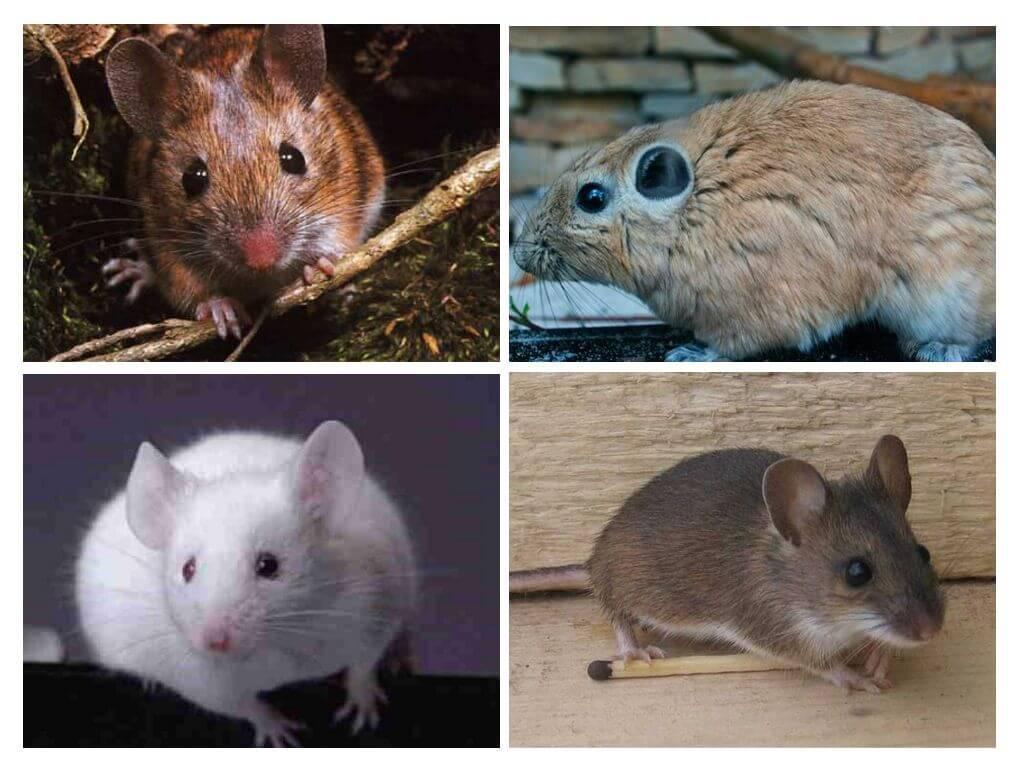 Самая большая мышь в мире