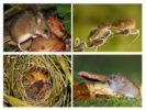 Образ жизни лесной мыши