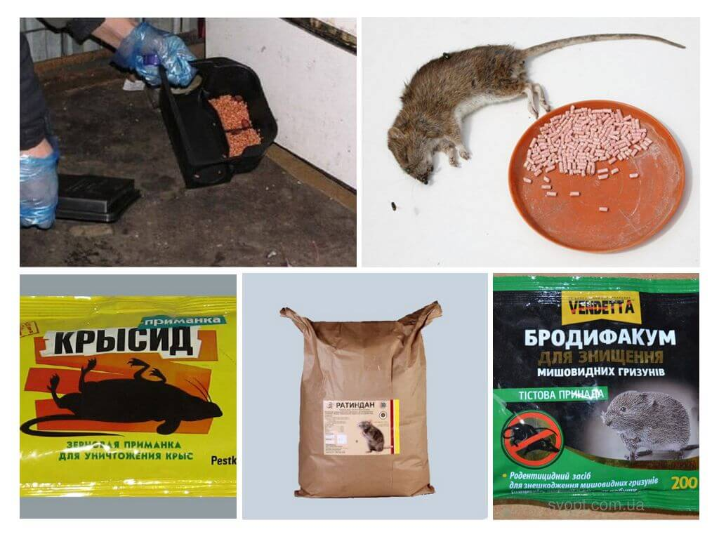 Отравление крысиным ядом человека и животных: первая помощь и лечение