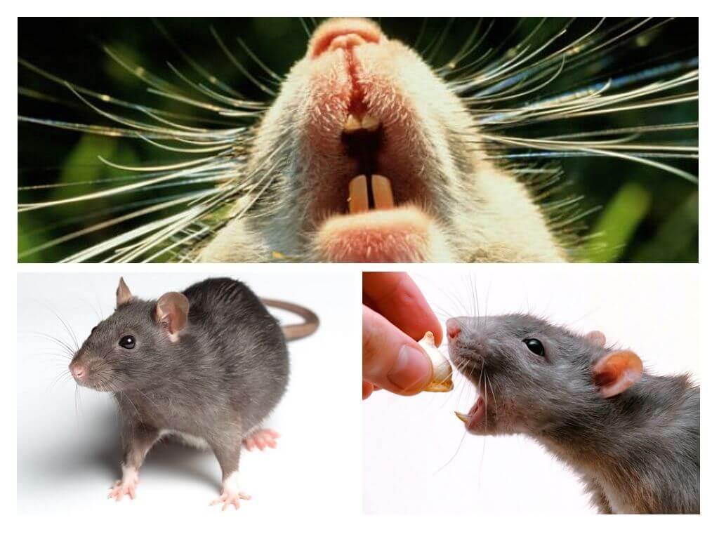 Писк крысы