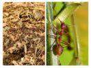 Польза муравьев