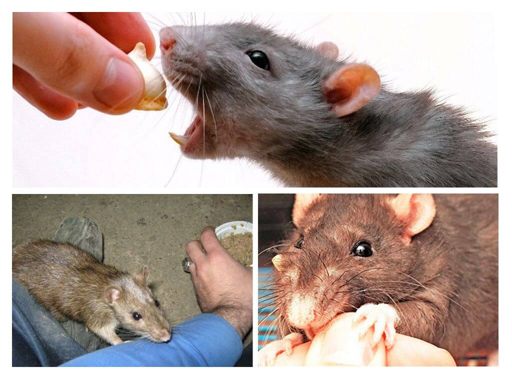 Укус крысы во сне
