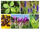 Растения ратициды
