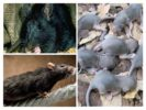 Размножение крыс