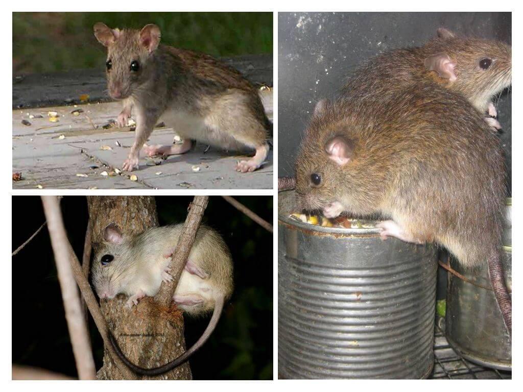Какие виды крыс существуют фото