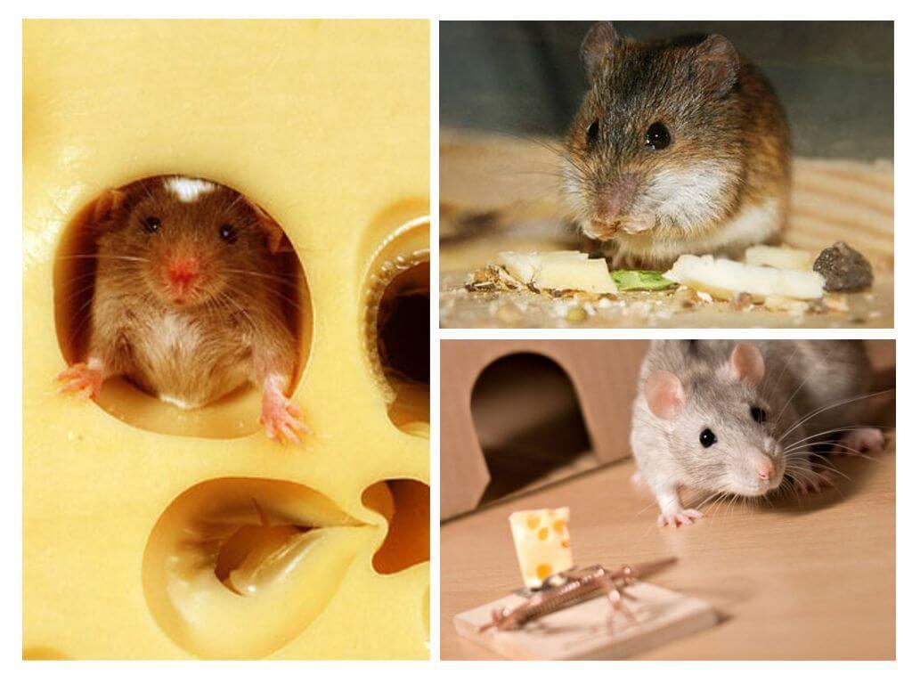 Мыши едят сыр или нет