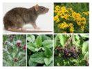Растения от крыс