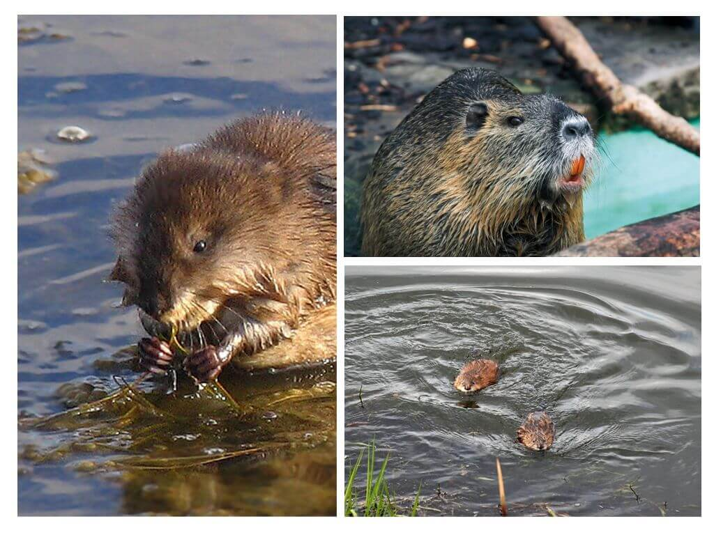 Водяные крысы