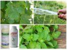 Средства борьбы с тлей на винограде