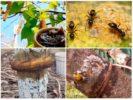 Березовый деготь в саду от муравьев