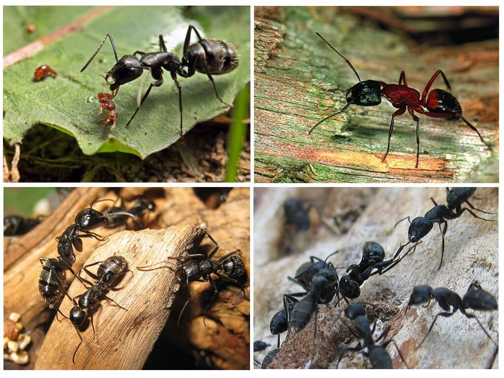 виды муравьев на картинке является