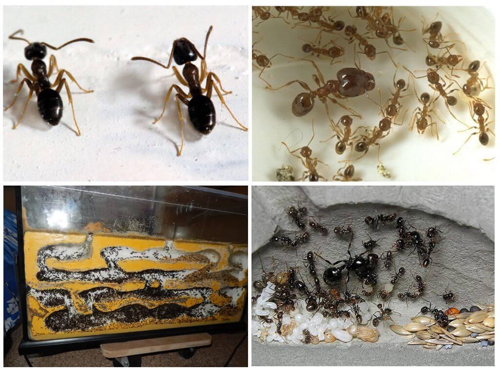 Муравьи жнецы - уход, питание, среда обитания и срок жизни 10