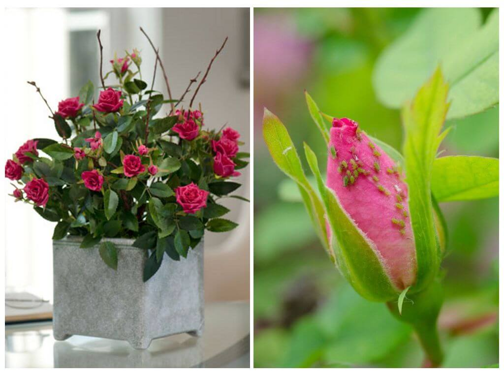 Тля на розах — чем обработать и как избавиться