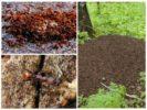 Муравейник и муравьи