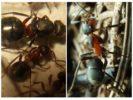 Луговые мураши