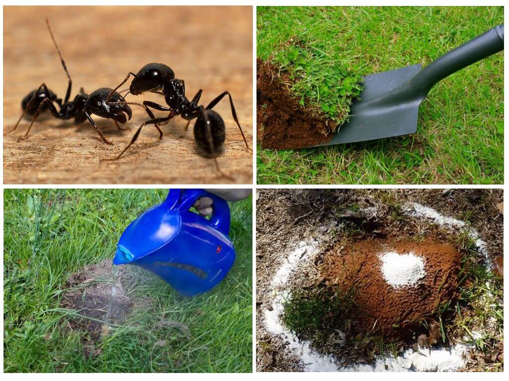 Как избавиться от муравьев на грядке народными средствами